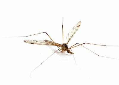 Crane Fly Pest Control Vancouver WA