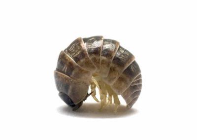 Pill Bug Pest Control Vancouver WA