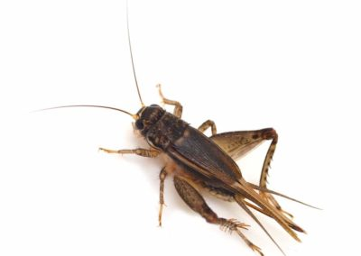 Cricket Pest Control Vancouver WA