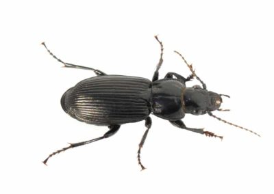Ground Beetle Pest Control Vancouver WA