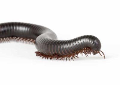 Millipede Pest Control Vancouver WA