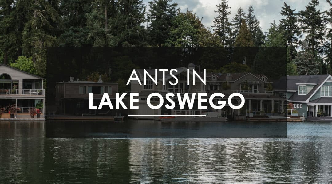 Ant Control in Lake Oswego