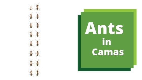 Sugar Ant Extermination In Camas
