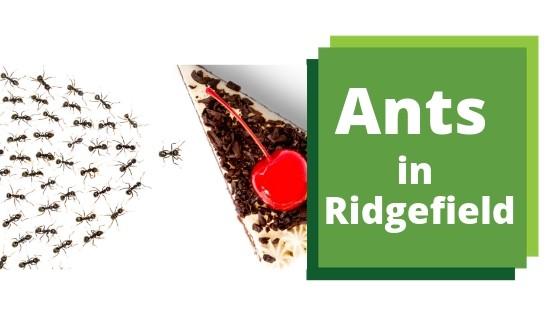 Ridgefield Sugar Ant Control