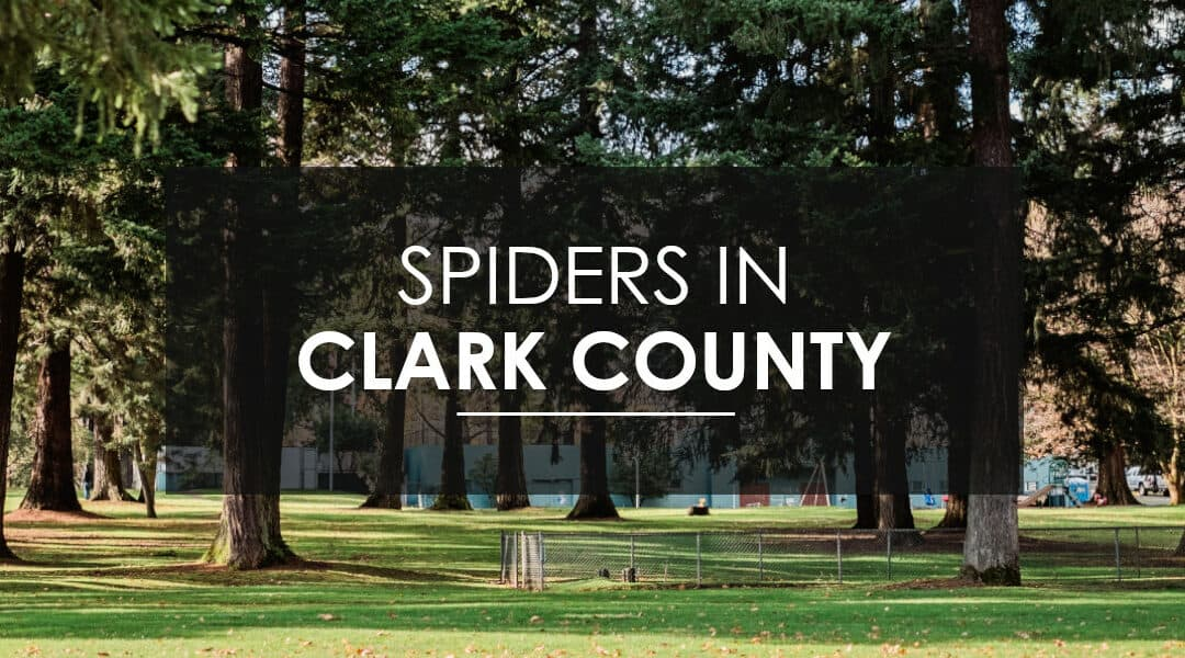 EFFECTIVE AND FAMILY FRIENDLY SPIDER CONTROL IN CLARK COUNTY