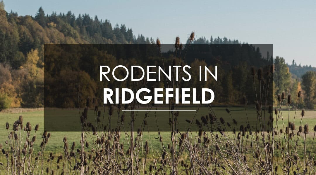 Mice and Rat Extermination  In Ridgefield, WA