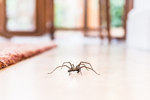 House spider crawling across a floor